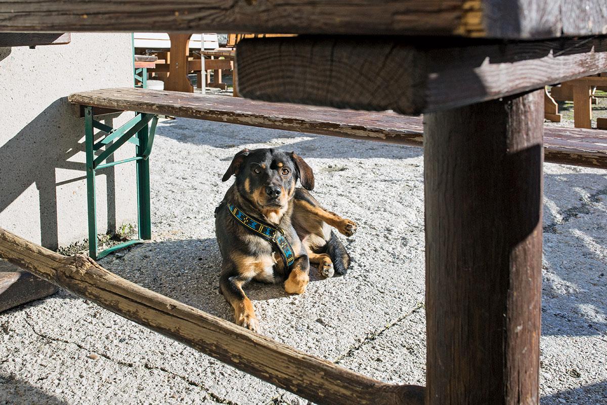 Hund & Hütte – Wandern mit Wau-Effekt. Lebendig, verspielt, hingebungsvoll, konzentriert, freundlich und durchsetzungsstark – ein waschechter Österreichischer Pinscher wie Janosch ist selten müde