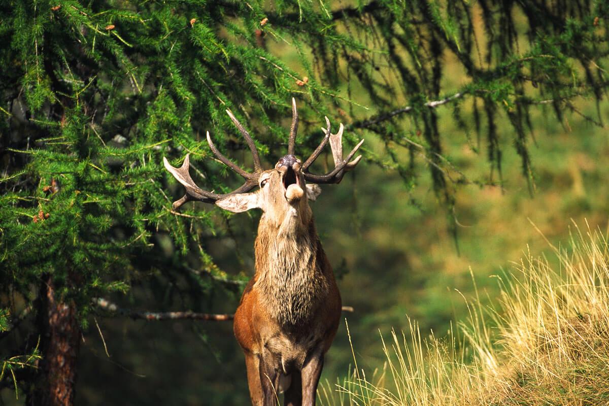 Murmeltier, Steinbock, Gams & Co. – Tierisch interessant. Im Aletschgebiet bietet das Pro Natura Zentrum Aletsch einige Info-Wochenenden an, an denen sich die Gelegenheit bietet, Birkhähne, Bergvögel, Murmeltiere und Hirsche in freier Wildbahn hautnah zu erleben und beobachten
