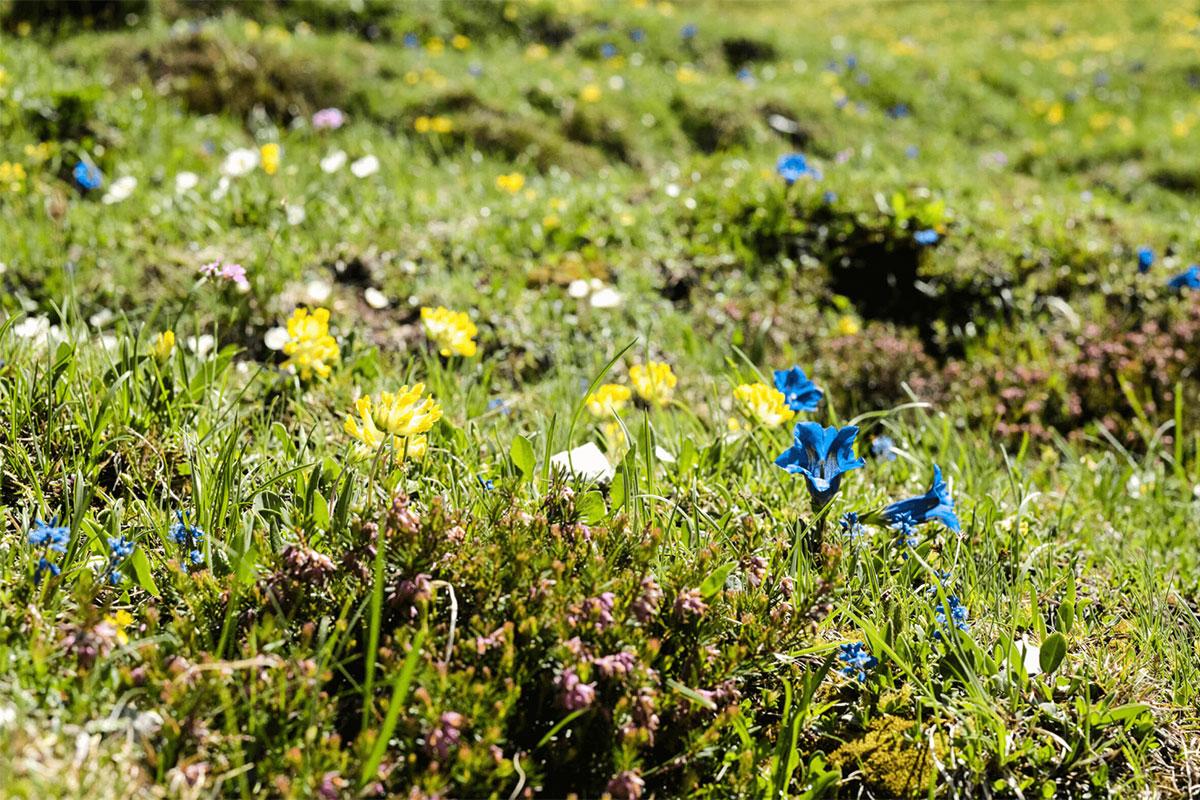 Innsbrucktrek Almwiese Blumen