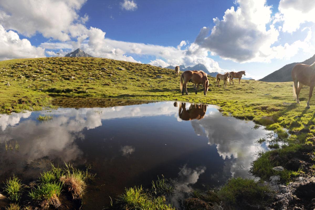 Die Islandpferde leben im Kühtai auf 2.000 Metern Höhe. © Innsbruck Tourismus/Markus Moser